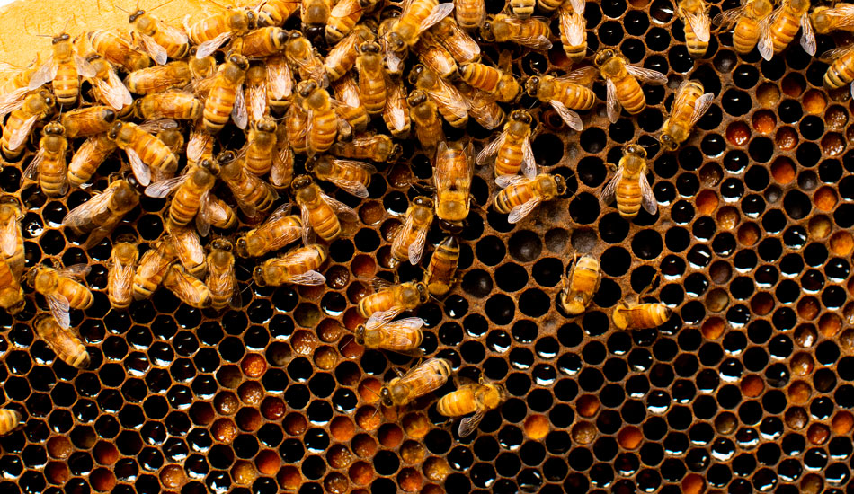 Bees up close at their hive