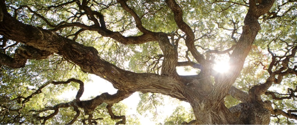 Sun shining through the branches of the Sorin Oak at St. Edward's University