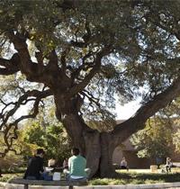 Sorin Oak