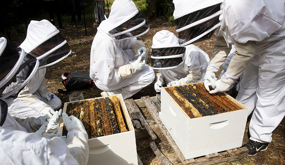 Student study how exposure to four commonly used pesticides affects honeybees' immune systems